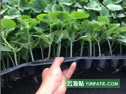 郑州育蔬菜苗厂_黄瓜苗批发基地