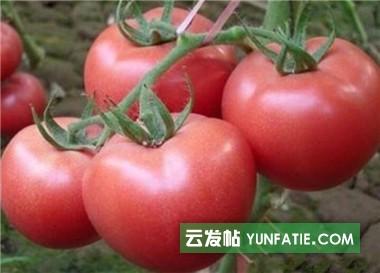 盐城西红柿育苗厂_越冬西红柿苗基地品种