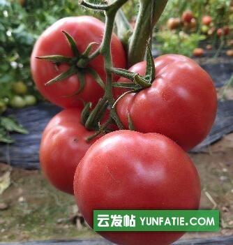 石家庄西红柿育苗厂_早春口感西红柿苗品种