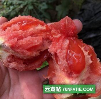 邢台釜山88小番茄苗_育口感西红柿苗基地