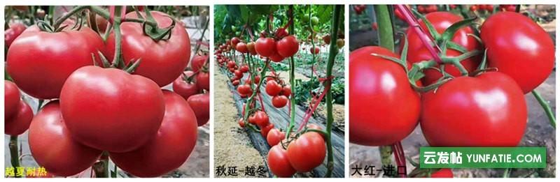 海丰县番茄种苗_大粉番茄苗育苗厂