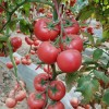 隆尧大粉西红柿苗 越夏西红柿种苗厂