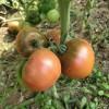 绩溪釜山88小番茄苗 水果小番茄苗厂
