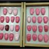 康谊牌KAY-S30舌苔模型 舌像模型 舌诊断模型 舌头模型